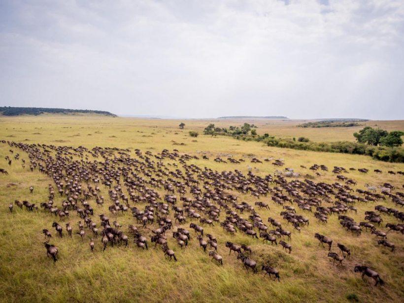 Masai Marra-Wild Beast Migration